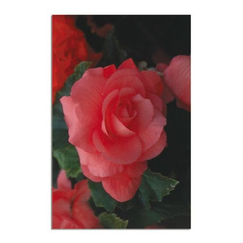 Begonia Service Record -  - 557781