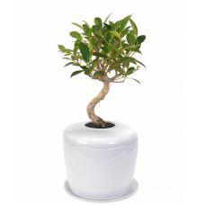 Ficus Retusa Tree