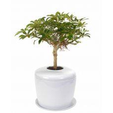 Real Bonsai Tree Urn