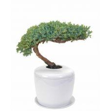 Traditional Windswept Juniper Tree