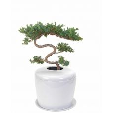 Trained Tiered Juniper Tree