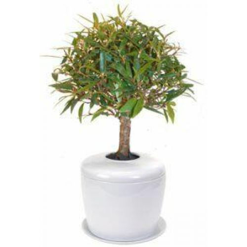 Willow Leaf Ficus Bonsai Tree -  - 23008